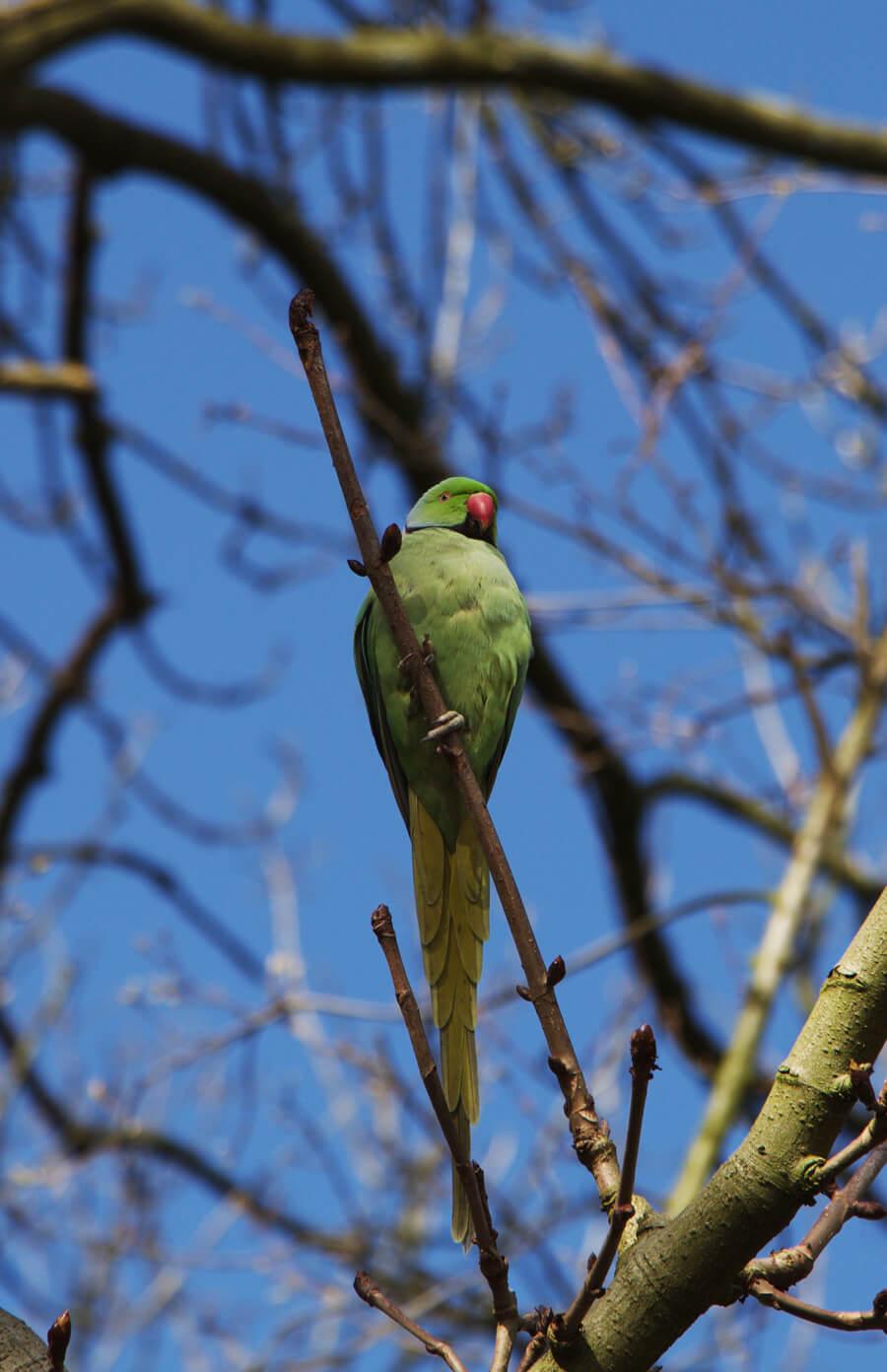 Amsterdam parrot