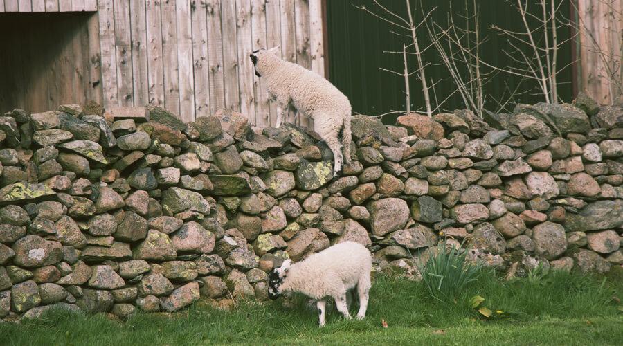 English lambs