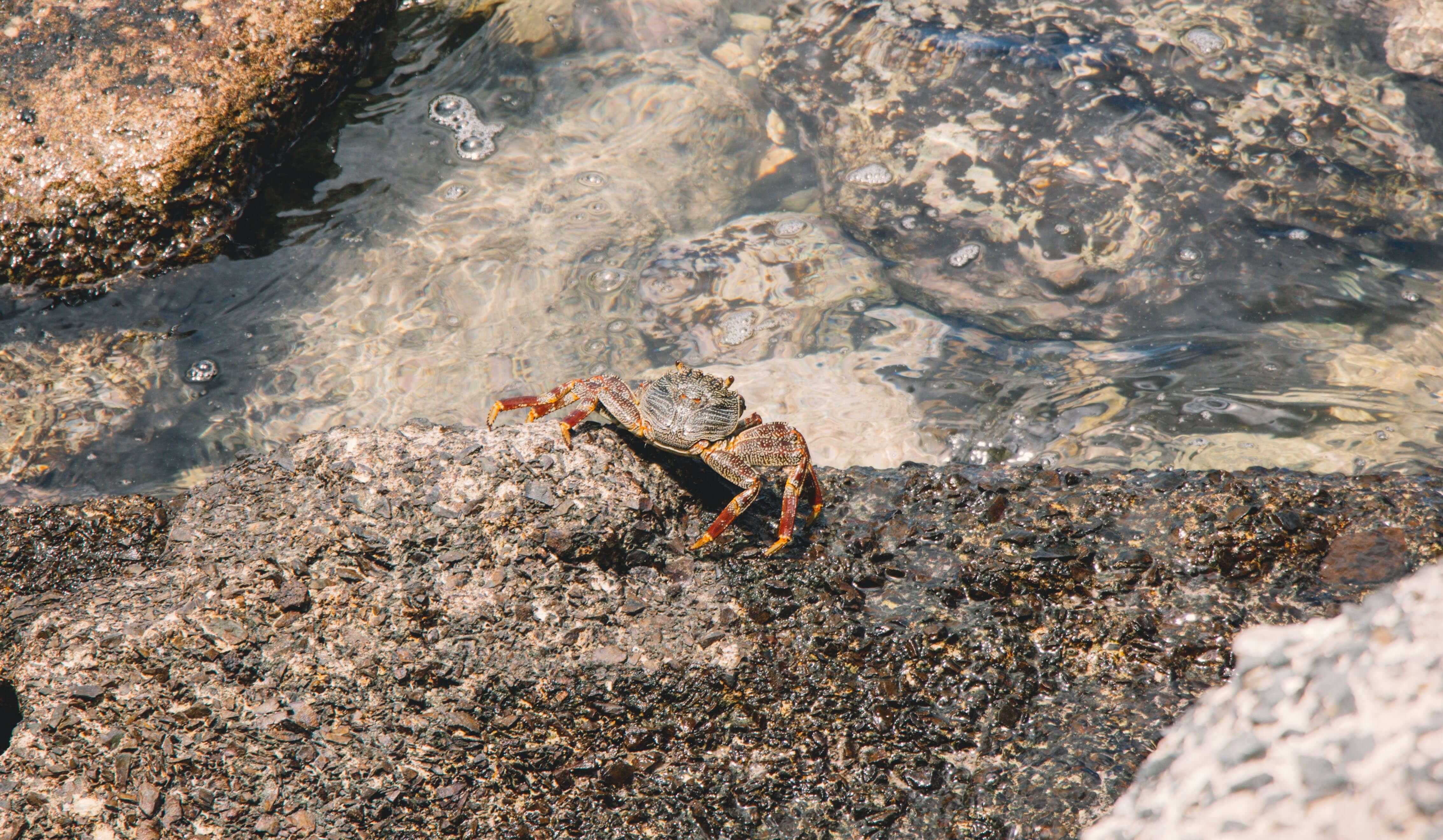 Rarotonga crab