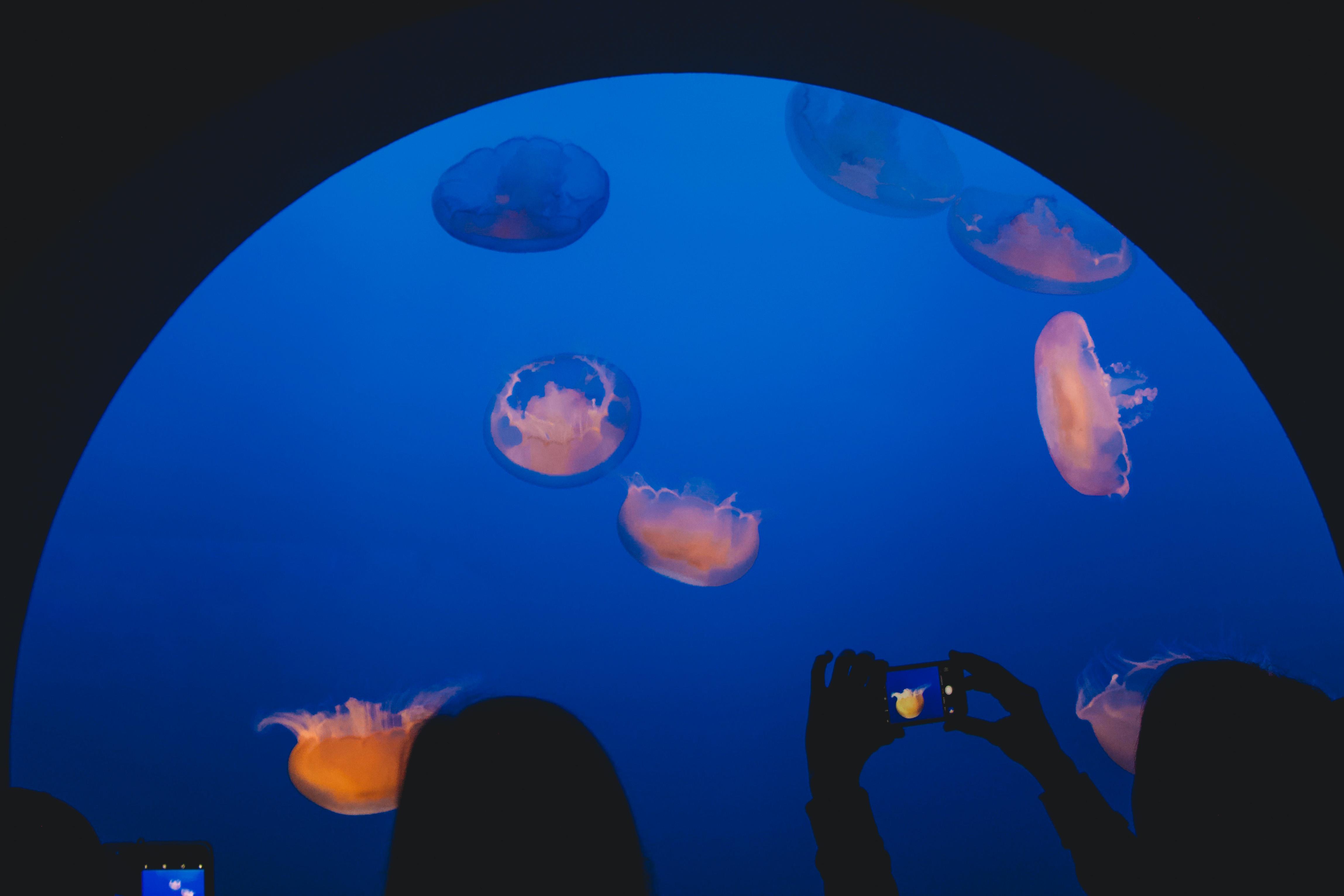 Monterey jellyfish